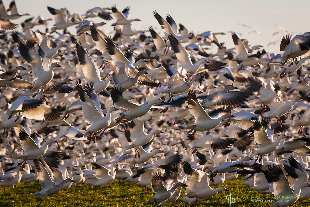 Migrating Snow Geese erupting in flight. Fir Island - Skagit, Washington