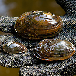 Dwarf Wedge Mussel (left), Eastern Elliptio (top), and Eastern Lampmussel (right.)  Keene, New Hampshire.  Ashuelot River.