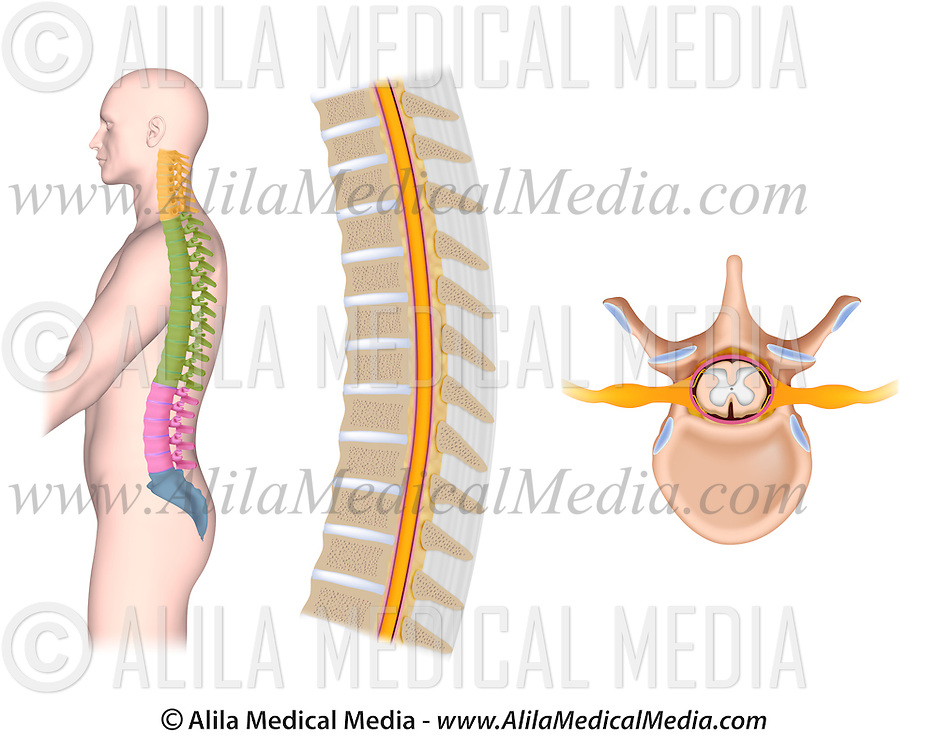 Thoracic Spine Anatomy Alila Medical Images
