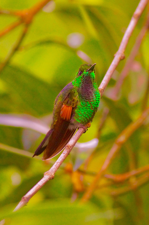 Fiery-throated Hummingbird, Costa Rica cloud Forest