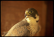 Peregrine falcon (Falco peregrinus) mother, first to hatch wild chicks in Missouri in 100 years, stands in nest box atop ATT building; St. Louis, Missouri