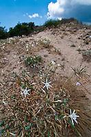 Salento - Puglia - Marina di Pescoluse - I gigli di mare sono specie protetta e crescono sulle dune di sabbia sul versante ionico.