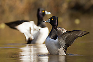 Two male ring-necked ducks flap their wings and rise out of the water at the same time