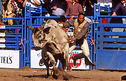 24 FEBRUARY 2002, TUCSON, ARIZONA, USA: Peter Randle is bucked off Spotted Demon in the bullriding at the Fiesta de los Vaqueros Rodeo in Tucson, Az, Sunday, Feb. 24, 2002. The Fiesta de los Vaqueros Rodeo has been held for 77 years and is one of the largest professional rodeos in the US. .PHOTO BY JACK KURTZ
