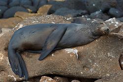 A juvenile Galapagos Sea Lion (Zalphus wollebacki), sleeps on a rock along the shore, Galapagos Islands National Park, North Seymour Island, Galapagos, Ecuador