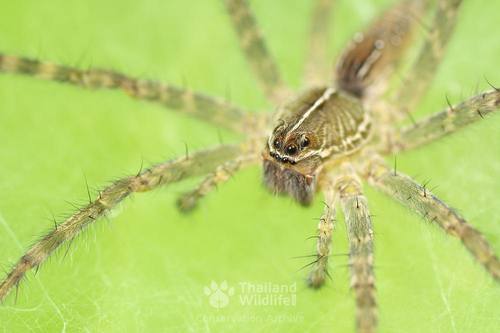 Wolf Spider (Hippasa holmerae) at its web in the Huai Kha Khaeng Wildlife Sanctuary in Thailand.
