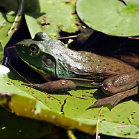 Bullfrog on water lilly pads