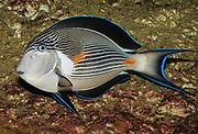 Sohal Surgeonfish, Acanthurus sohal.