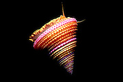 UNDERWATER MARINE LIFE EAST PACIFIC: Northeast SNAILS: Top shell Calliostoma annulatum