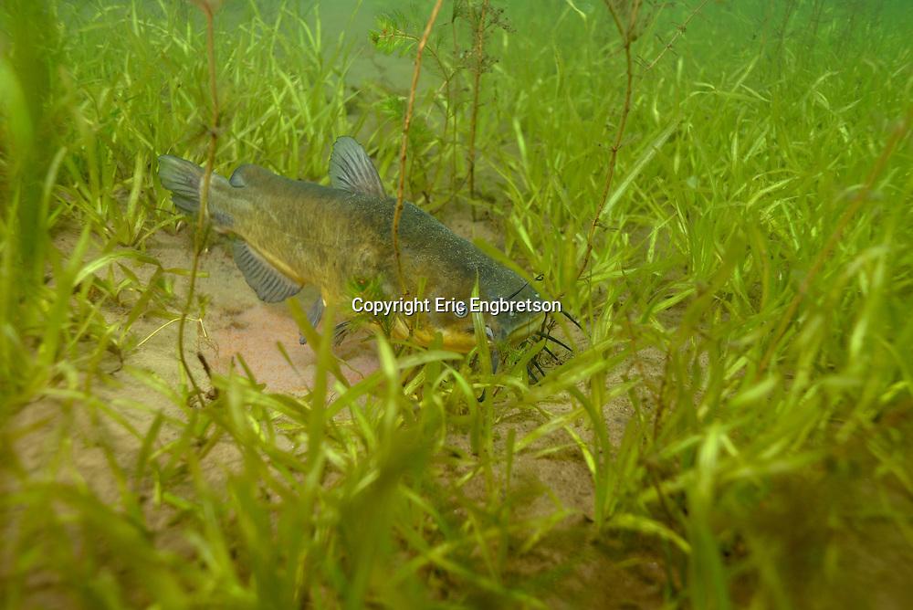Black Bullhead<br /> <br /> Engbretson Underwater Photography