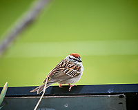 Chipping Sparrow. Image taken with a Nikon D5 camera and 600 mm f/4 VR lens (ISO 1600, 600 mm, f/5.6, 1/320 sec).