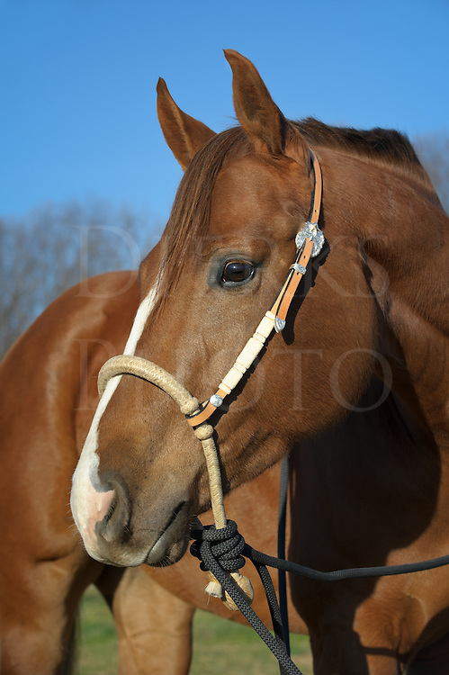 """Horse wearing new straw bosal, bit less tack alternative to traditional bridle or halter, silver and ivory trim, """"Squeak""""."""