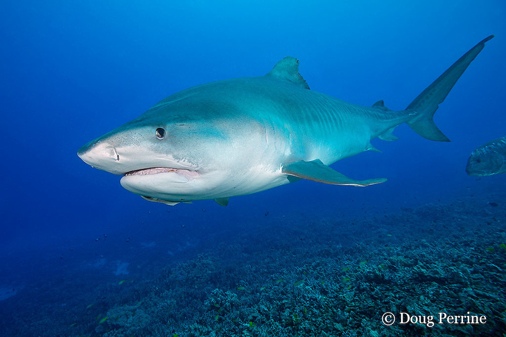 tiger shark, Galeocerdo cuvier, with small remora attached to chin, Honokohau, Kona, Big Island, Hawaii, USA ( Central Pacific Ocean )