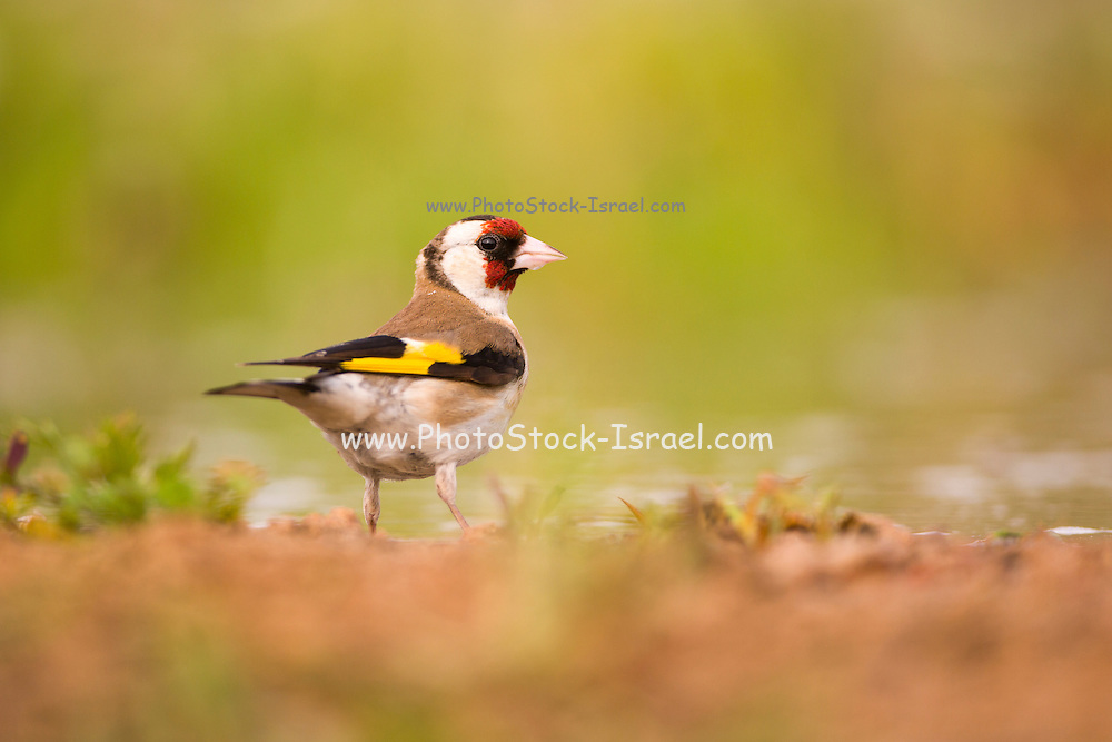 European goldfinch (Carduelis carduelis) in breeding plumage on the ground, Photographed in israel in April