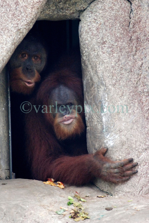 03 September 2005. New Orleans, Louisiana.  Post Hurricane Katrina.<br /> The orangutans peer nervously from their enclosure at the first humans to come and visit them since the storm hit.<br /> Photo Credit &copy;: Charlie Varley/varleypix.com
