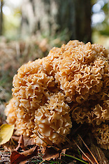 Sponszwammen, Sparassidaceae