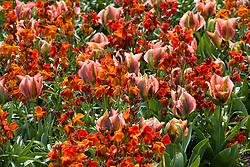 Tulipa 'Artist' with Erysimum 'Fire King'