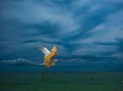 Snowy Egret, St. Pete Beach, Florida