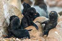 A creche of newly born Cape Fur Seal pups, Namaqua National Park, South Africa
