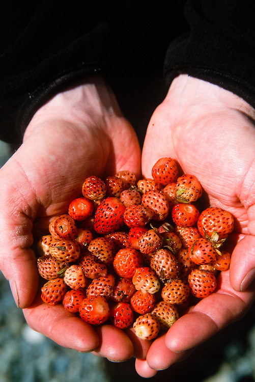 Alaska. Glacier Bay NP. Beardslee Islands. A camper shows off his collection of freshly picked strawberries.