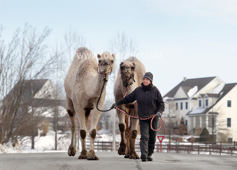 Bambi Brook of the Sanctuary for Animals walks camels Ted, left, and Azuri on William Lain Road in Westtown on Wednesday, Jan. 2, 2013. The camels returned from Radio City Music Hall, where they were performing in the Christmas Spectacular, on Dec. 31, 2012.