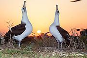 Laysan albatross, Phoebastria immutabilis, couple sky-pointing during courtship dance at sunrise, Sand Island, Midway Atoll, Midway National Wildlife Refuge, Papahanaumokuakea National Monument, Northwest Hawaiian Islands, U.S.A. ( North Pacific Ocean )
