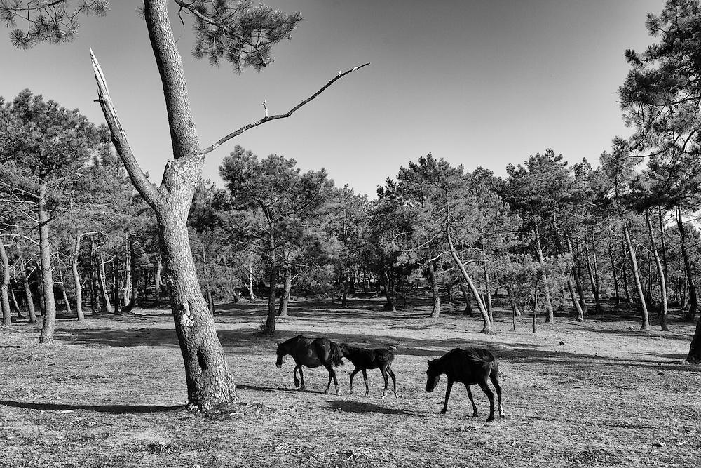 Wild horses (Equs ferus atlanticus) in Sierra da Groba a nature space affected by a project of open pit gold mine managed by a canadian enterprise company.<br /> <br /> In Galician:<br /> Equs ferus atlanticus, garranos ou burras do monte, son os nomes dos cabalos salvaxes da serra da Groba que forman parte do patrimonio natural e cultural de Galicia, e que est&aacute;n en perigo de extinci&oacute;n. Son unha raza que cumpre unha funci&oacute;n ecol&oacute;xica fundamental no desenrolo do medio no que viven. Son fortes, rexos, e aguantan as inclemencias do tempo e a dureza do territorio no que viven, procesando nos seus est&oacute;magos o toxo, Ulex europaeos, e o fento Pteridium aquilinum, plantas abondosas na serra e que poucos animales son capaces de dixerir. Na primavera son reunidos en curros, de xeito colectivo, nunha festa etnogr&aacute;fica que probablemente ten as s&uacute;as orixes xa no neol&iacute;tico, sendo marcados e rapados, retir&aacute;ndolle as cr&iacute;as machos, deixando as femias para que sigan a cadea reprodutiva.Son salvaxes e viven e reproducense en completa liberdade no monte, coa singularidade de que te&ntilde;en propietario e son marcados con marcas tradicionais a ferro para ser reco&ntilde;ecidos dende lonxe ao verse as marcas ou ferros de cada familia gravadas por riba do coiro duro, de cor maioritariamente casta&ntilde;a ou negra.<br /> As minas a ceo aberto contaminar&iacute;an e acabar&iacute;an co seu habitat e ser&iacute;an a puntilla para a s&uacute;a desaparici&oacute;n na serra da Groba, onde hoxe hai cinco curros que xuntan unhos 1500 exemplares adultos na Valga, Torro&ntilde;a, Moug&aacute;s e A Portavedra.