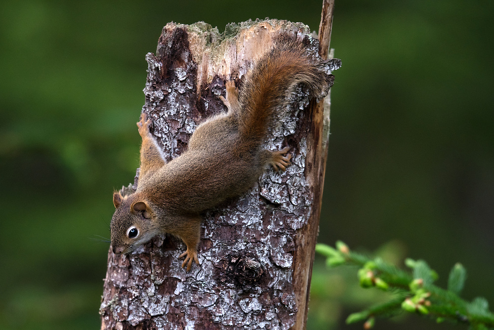 American Red Squirrel, Bass Harbor, Maine