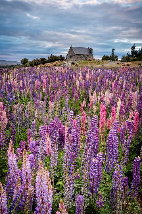 The Church of the Good Shepherd nestled amongst a meadow of vibrant lupins, Tekapo, New Zealand