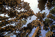 MEXICO, MICHOACAN, ANGANGUEO millions in Monarch Butterflies Sanctuary