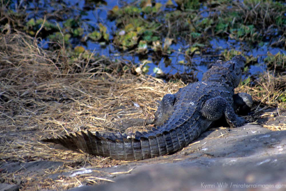 Asia, India, Ranthambore. Marsh Crocodile of Ranthambore.