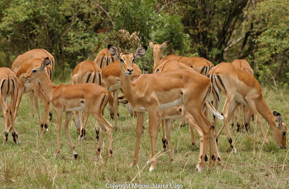 A herd of Thompson gazelle, graze in tha plains of the Maasai Mara park in Kenya. (PHOTO: MIGUEL JUAREZ LUGO).