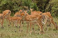 A herd of Thompson gazelle, graze in tha plains of the Maasai Mara park in Kenya. (PHOTO: MIGUEL JUAREZ LUGO).