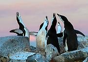 Chinstrap penguins (Pygoscelis antarcticus) displaying at the top of Useful Island, Antarctic Peninsula