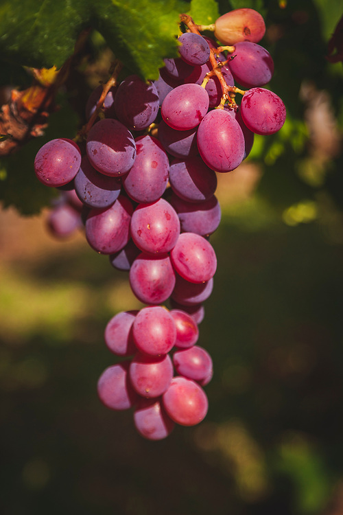 Grapes in a Constantia vineyard, Cape Town