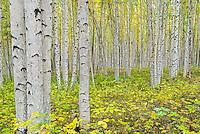 Alaska Birch (Betula neoalaskana) forest in Birch Hill Recreation Area just north of Fairbanks Alaska