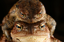 Common toad (Bufo bufo) Solling in the Central German Upland. Solling, Germany | Erkröten-Paar (Bufo bufo) auf der Wanderung zum Laichgewässer