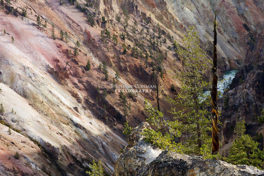 A pine tree spindle perched on a cliff overlooking the Yellowstone River in Yellowstone National Park