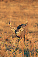 Non-typical trophy Mule deer buck in grassland habitat