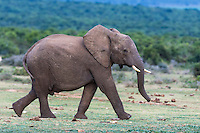 African Elephant walking to water, Addo Elephant National Park, Eastern Cape, South Africa