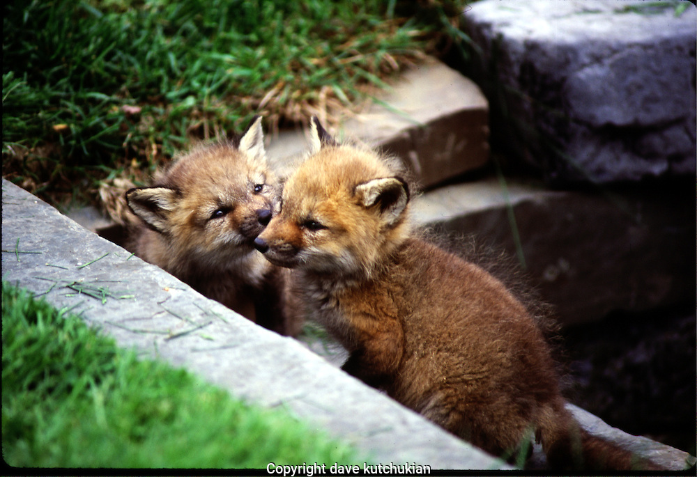 fox kits displaying affection