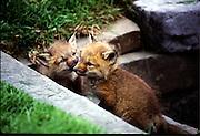 fox kits displaying affection