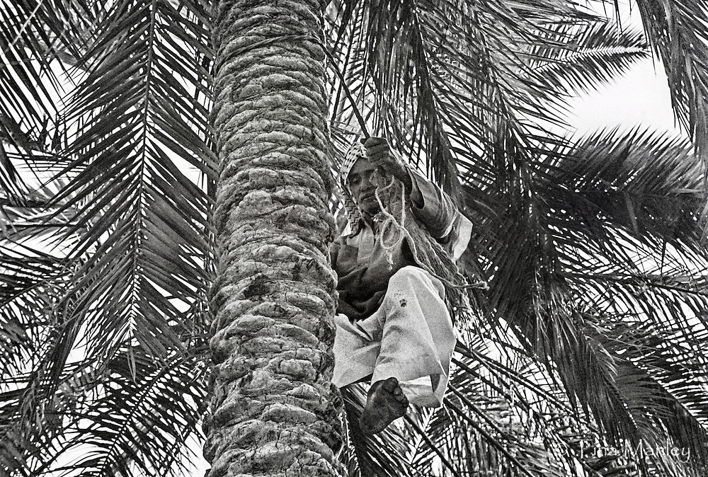 IRAQ, NASSYRIA:  Date farmer climbing a date palm barefooted to harvest the fruit.