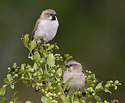 Pair of Kenya Sparrow (Passer rufocinctus) from Solio Ranch, Kenya.