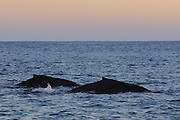 Humpback whale (Megaptera novaeangliae), photographed off Mexico, Pacific Ocean.