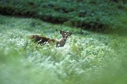 Red deer (Cervus elaphus) walking through ferns, Bradgate Park, Leicestershire, England, UK.