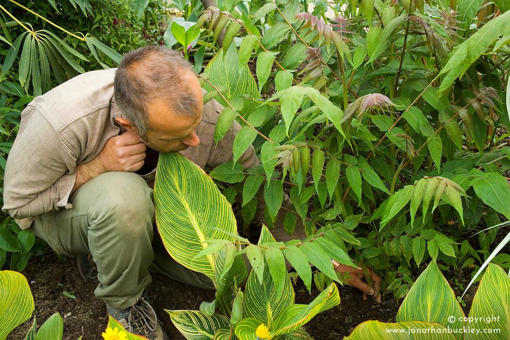 Fergus Garrett thinning Ailanthus altissima in the exotic garden at Great Dixter