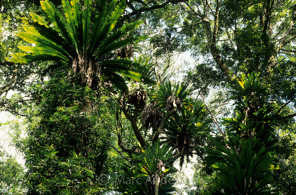 Birds Nest Ferns & other epiphytes in subtropical rainforest, Dorrigo National Park, NSW, Australia.