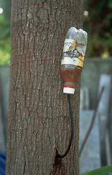 Bottle of chemical treatment attached to side of tree to treat disease,