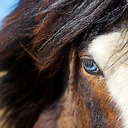 Blue-eyed Icelandic horse at Arnarstapi on the Snaefellsnes Peninsula in western Iceland.